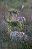 Rutting_Fallow_Deer